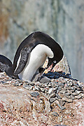 Adelie Penguin.Pygoscelis adeliae.on nest with small chicks.Peterman Island, Antarctica.25 December 2003