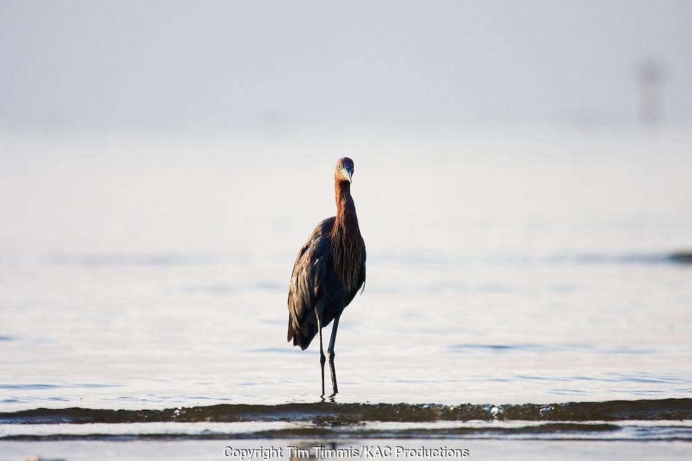 Reddish Egret, Egretta rufescens, Bolivar Flats, Texas gulf coast