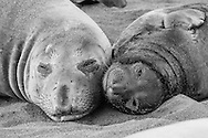 Mother elephant seal and pup rest on beach at Piedras Blancas, CA