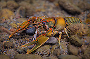 Coosa Crayfish, Underwater