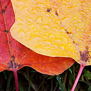 Two wet leaves, one red and one yellow, are found at the base of the tree they fell from in Carkeek Park, Seattle, Washington.