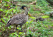 Adult nene & chick in Princeville, on the island of Kauai, Hawaii, USA. The nene (Branta sandvicensis, or Hawaiian goose) is endemic to the Hawaiian Islands and is the official state bird. This bird is found in the wild on the islands of Oahu, Maui, Kauai, Molokai and Hawaii (the Big Island). Nene DNA indicates that the species evolved from the Canada goose (Branta canadensis) which likely arrived here about 500,000 years ago, shortly after the volcanic Big Island emerged from the sea.
