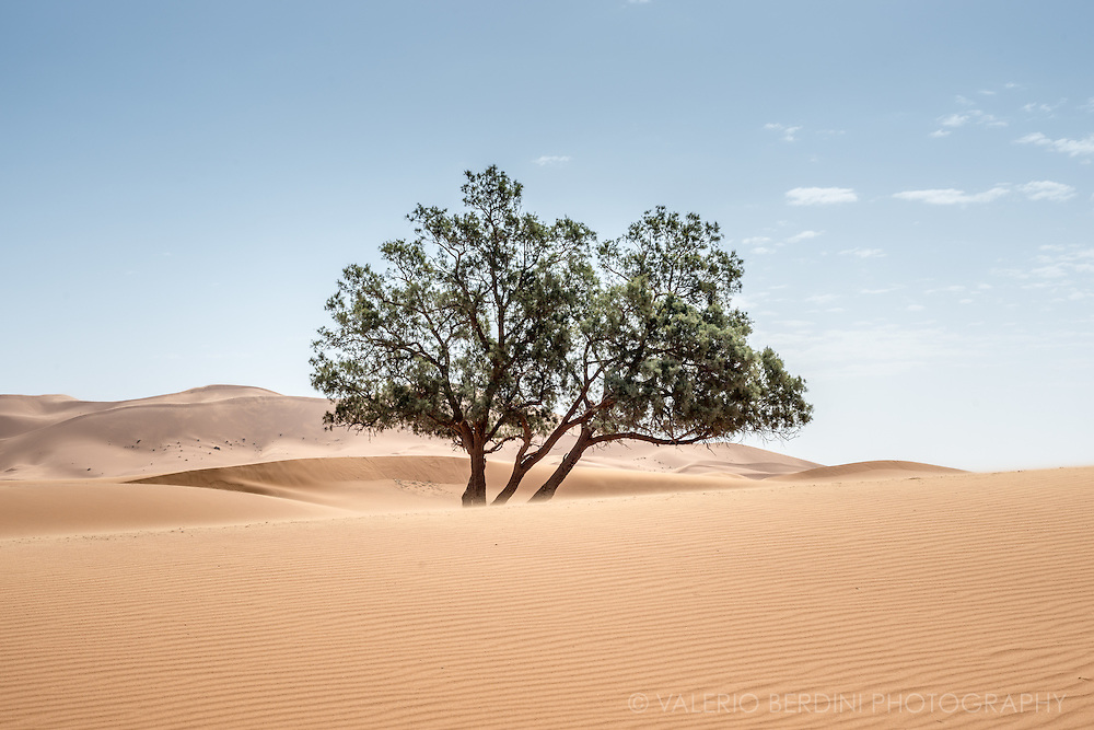 A tree fights agains the strong winds blowing among the desert dunes in the Moroccan Sahara.