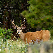 Odocoileus hemionus _Mule Deer, Rocky Mountain National Park, Colorado