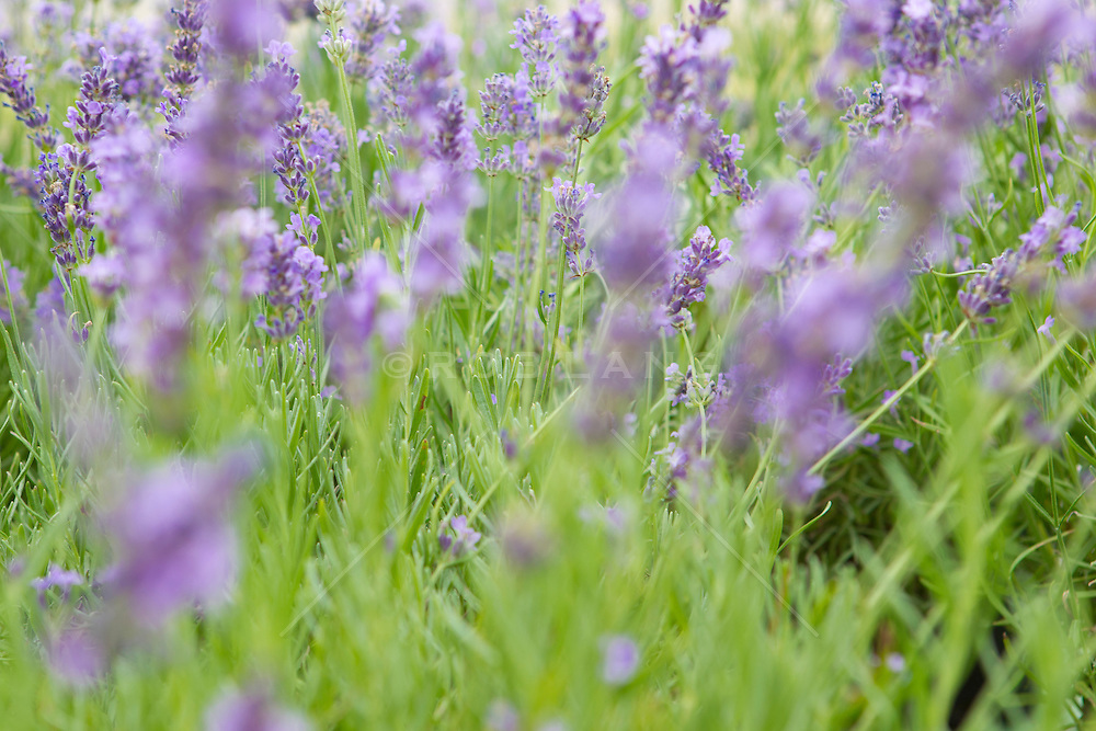 purple lavender in bloom