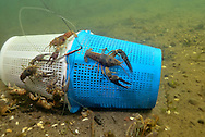 Rusty Crayfish on Crayfish Trap<br />