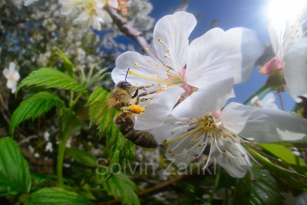 Honey bee (Apis mellifera) collecting pollen from the flower of an cherry tree   Die Honigbiene (Apis mellifera) sammelt Pollen in einem Kirschbaum. Ganz nebenbei bestäubt sie dabei die Blütenpflanzen und wird zum wichtigsten Bestäuber in Insektenreich. Kiel, Deutschland