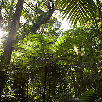 Tree fern in forest on Kolombangara, Solomon Islands