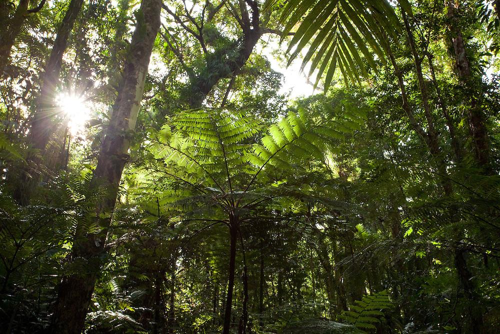 Tree fern in forest on Kolombangara, Solomon Islands