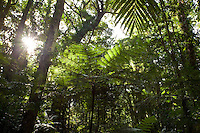 Tree fern in forest on Kolombangara
