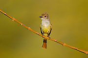 Nutting's Flycatcher <br /> Myiarchus nuttingi inquietus<br /> El Tuito, Jalisco, Mexico<br /> 14 June     Adult      Tyrannidae