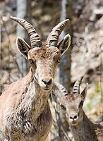 Spanish Ibex (Capra pyrenaica), Cazorla National Park, Spain