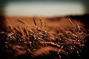 Golden wheat glows in the late afternoon sun, Birch Hills, Saskatchewan, Canada.