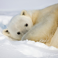 Norway, Svalbard, Spitsbergen Island, Polar Bear (Ursus maritimus) resting on snow-covered icebergs along northern coastline