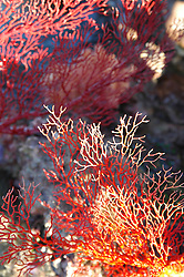 Colourful gorgonian fan corals exposed at low tide at Camden Sound on the Kimberley coast.