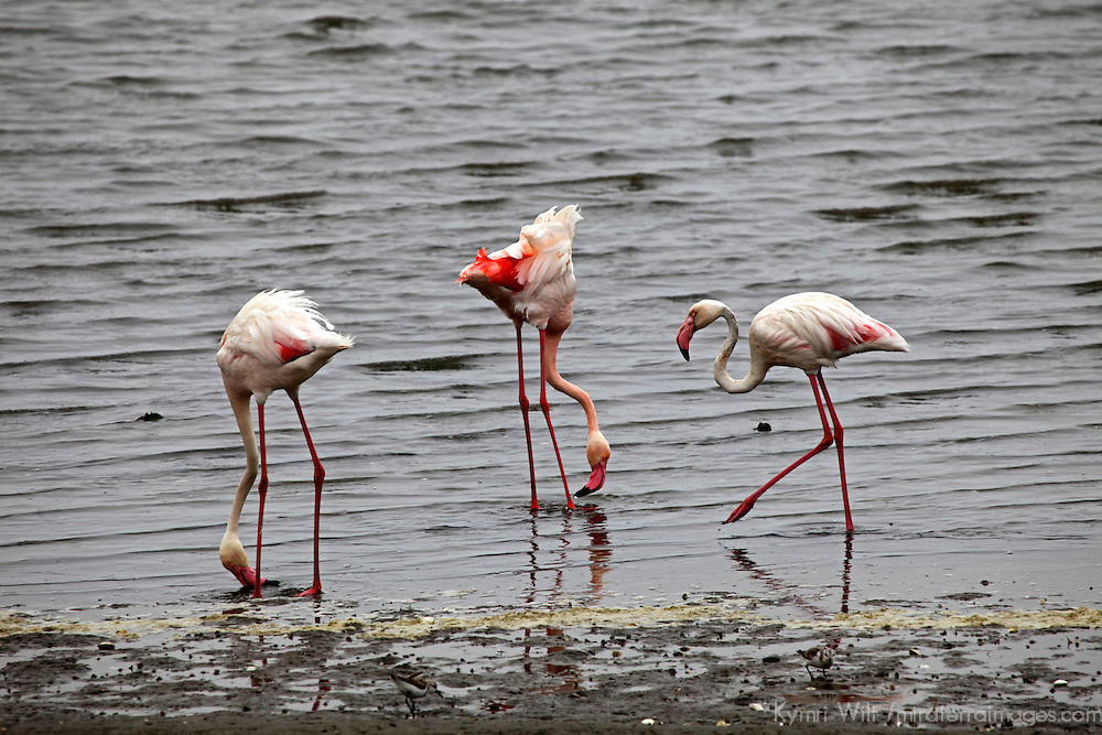 Africa, Namibia, Walvis Bay. Flamingos feeding at Walvis Bay.