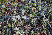 Frosty leaves in Little Chalfont in Bucks