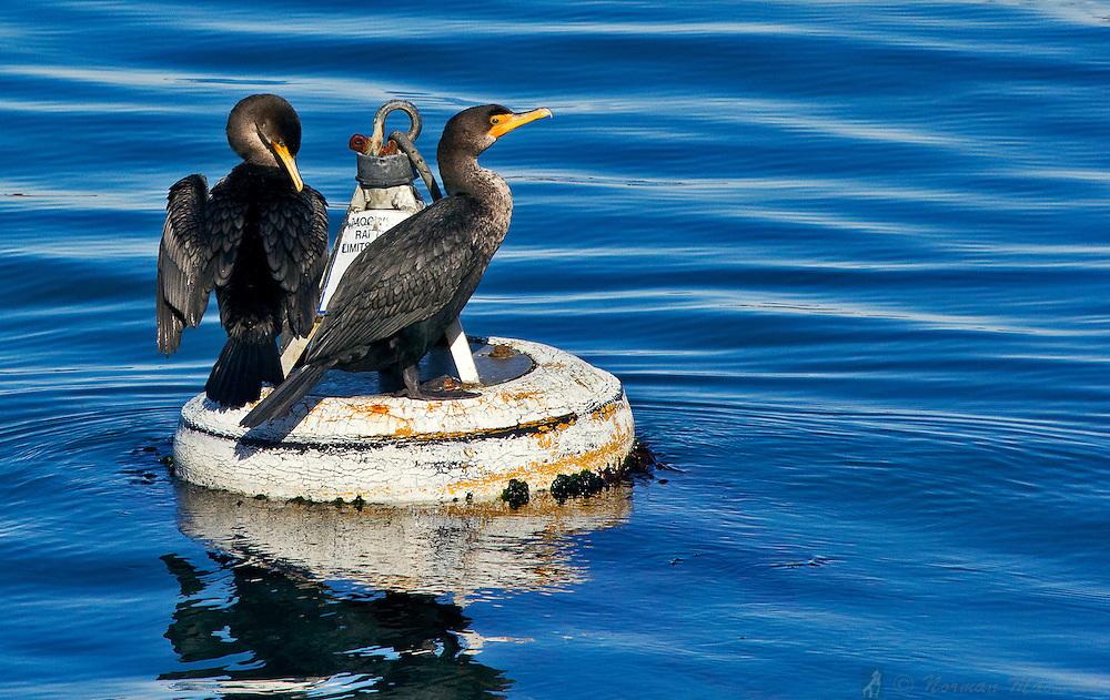 Cormorants sunning on a buoy in Port Townsend Bay near Fort Worden