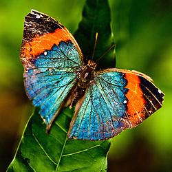 Orange and blue butterfly, Butterly Farm, Aruba