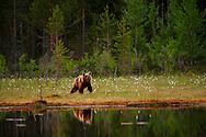 Oso Pardo, Finlandia