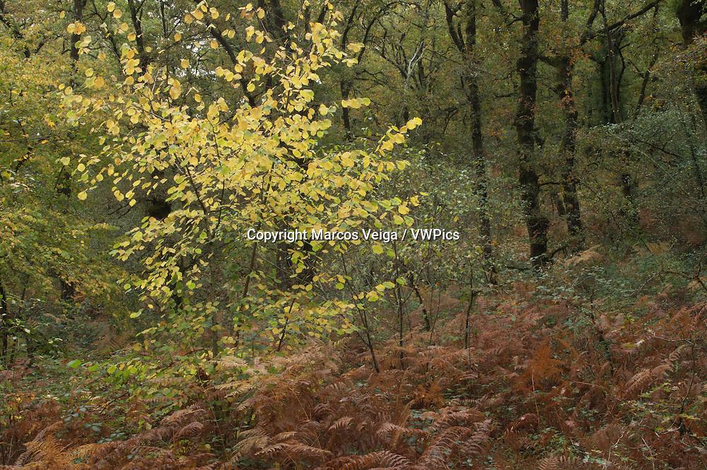Deciduous forest. Fragas do Barragan. Pontevedra, Galicia, Spain