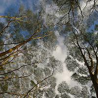 Acacia trees  ( yellow barked acacias, also knoan as  fever trees - Acacia xanthophloea ) are the common vegetation on the shores of Lake Nakuru in Kenya.