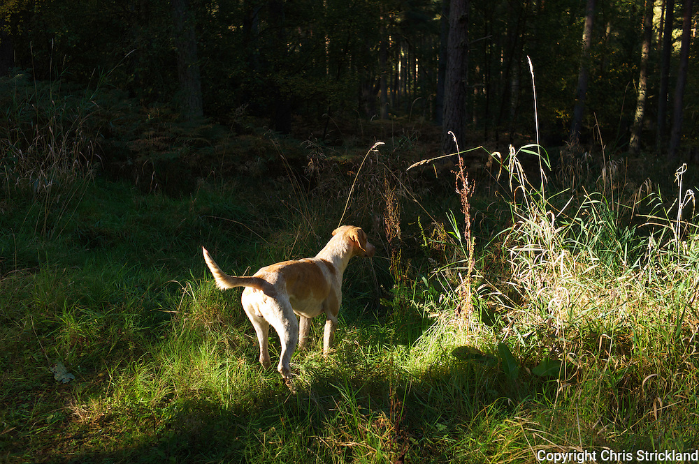 Artist. A foxhound listens attentively to fellow hounds in it's pack while hunting in a forestry block.