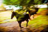 tres caballos corren por Malalcahuello (corral de caballos en Mapudungun), a los pies del volcan Lonquimay. Malalcahuello, Provincia de Malleco, Novena Region de la Araucania, 24-05-2006 (©Alvaro de la Fuente/Triple.cl)