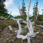 The bones of a dead tree. Road to Obstruction Point, Olympic National Park.