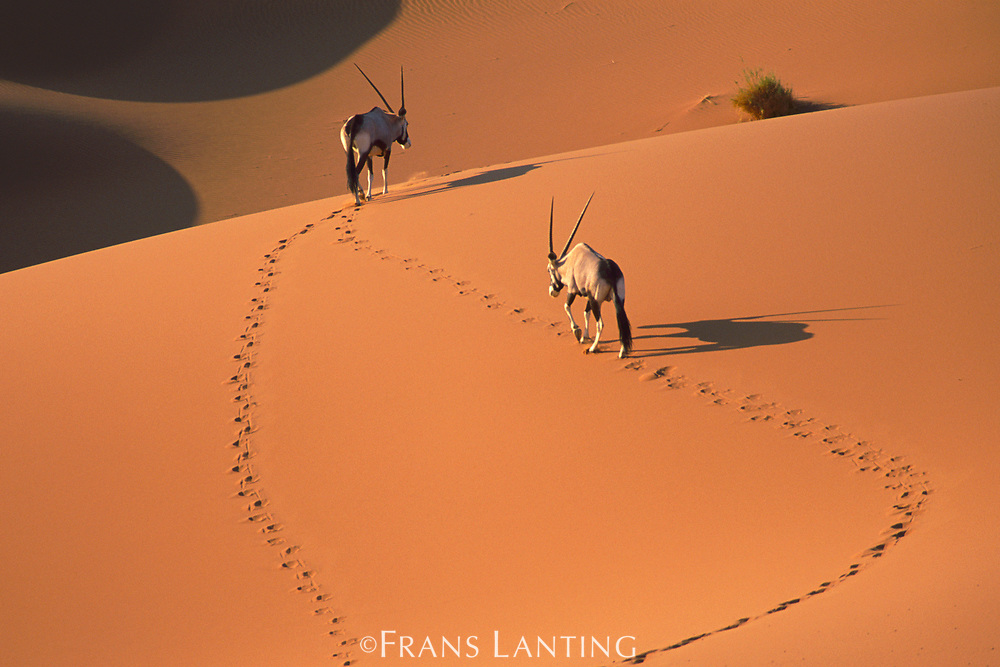 Gemsbok in sand dunes, Oryx gazella, Namib-Naukluft National Park, Namibia