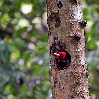 Central America, Costa Rica, Manuel Antonio. Pale Billed Woodpecker in tree.