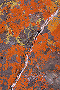 Orange and yellow lichen on rock with quartz vein, Santa Ynez Valley, California