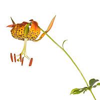 Carolina Lily (Lillium michauxii)