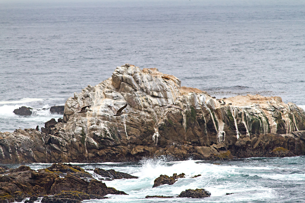 Camoflauged Brown Pelicans in flight at Point Lobos.