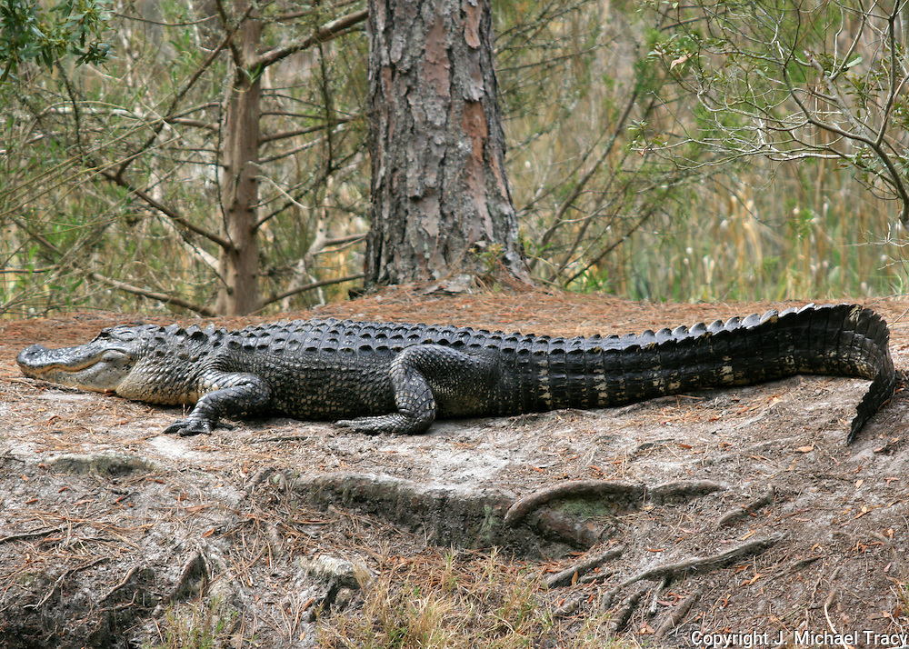 A 15 foot American Alligator sunning itself on the bank of a forest pond in the woods off a bike trail on Jekyll Island Georgia.
