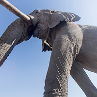 Africa, Botswana, Chobe National Park, Low angle view of African Elephant (Loxodonta africana) as it walks over remote camera in Savuti Marsh