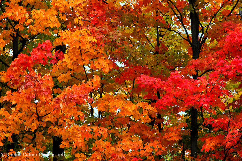 &quot;Take a Peak&quot;<br /> <br /> Some autumn eye candy for you in this beautiful fall foliage image! Wonderful red, orange and golden leaves contrast with the dark wet tree trunks on a rainy fall day in Michigan!!<br /> <br /> Fall Foliage by Rachel Cohen