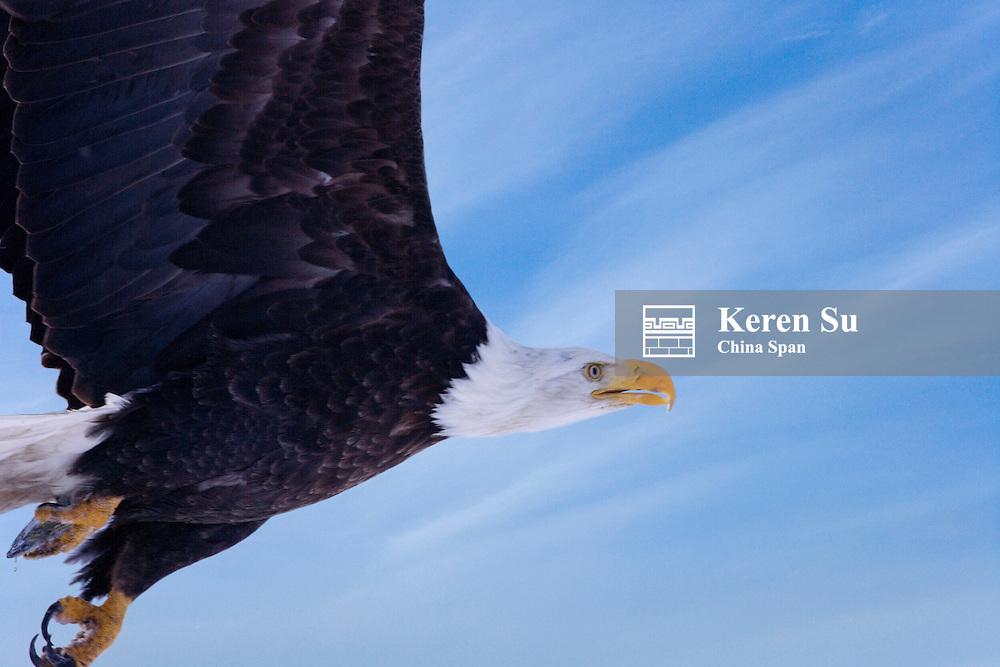 Bald Eagle (Haliaeetus leucocephalus) flying, Alaska, US
