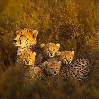 Tanzania, Ngorongoro Conservation Area, Ndutu Plains, Young Cheetah Cubs (Acinonyx jubatas) resting in morning sunshine with mother on savanna