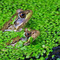 A close-up of a pair of small young green frogs (Rana clamitans) immersed in a small pond covered in common duckweed (Lemna minor), Huntley Meadows Park, Alexandria, Virginia.