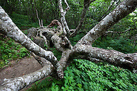 A serpent like tree growing in Craggy Gardens, Blue Ridge Parkway, North Carolina
