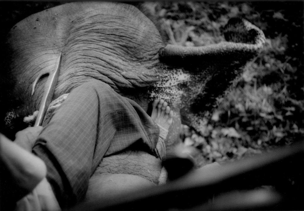 Mahout guides elephant with his feet, Jaldhapara Wildlife Refuge, West Bengal, India.