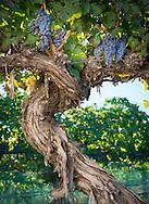 Uplands Vineyard old cabernet sauvignon vines planted in 1962, Snipes Mountain, Washington