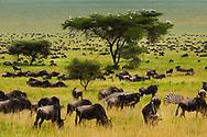 Wildbeest, Connochaetes taurinus, zebra, Equus quagga, and European storks, Ciconia ciconia, on acacia tree, Serengeti National Park, Tanzania