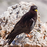 The Alpine or Yellow-billed Chough (Pyrrhocorax graculus) is a bird in the crow family with glossy black plumage, a yellow bill, and red-orange legs. Its two subspecies breed in high mountains from Spain eastwards through southern Europe and North Africa to Central Asia, India and China, and may nest at a higher altitude than any other bird. A lift to Forcella Staunies and Rifugio Guido Lorenzi on Monte Cristallo gives unforgettable views over the Dolomites mountains near Cortina d'Ampezzo, Province of Belluno, Veneto region, Italy, Europe. UNESCO honored the Dolomites as a natural World Heritage Site in 2009.