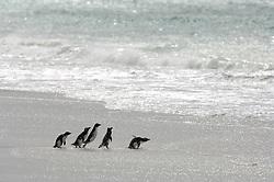 Rennen, watscheln stolpern, hüpfen: Diese kleine Gruppe Felsenpinguine (Eudyptes chrysocome) beeilt sich, unter der nächsten Welle hindurch in ihr angestammtes Element einzutauchen. Dort werden sie Nahrung für sich und ihre Küken beschaffen müssen. |Running, waddling, stumbling, hopping: This little group of rockhopper penguins (Eudyptes chrysocome) hurries to duck under in the next wave to enter their actual element. There they have to search for food for themselves and their chicks.