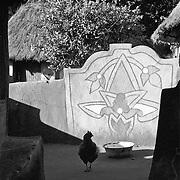 IPLM0012 , South Africa, Venda, June 2001. A chicken wanders around the burial place of the Mpephu ancestors, Tshongwedzi north of Louis Trichardt.