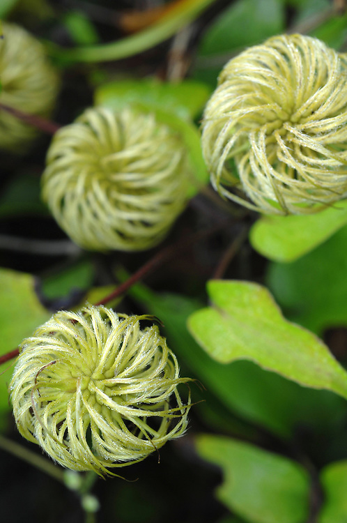 Clematis buds getting ready to bloom