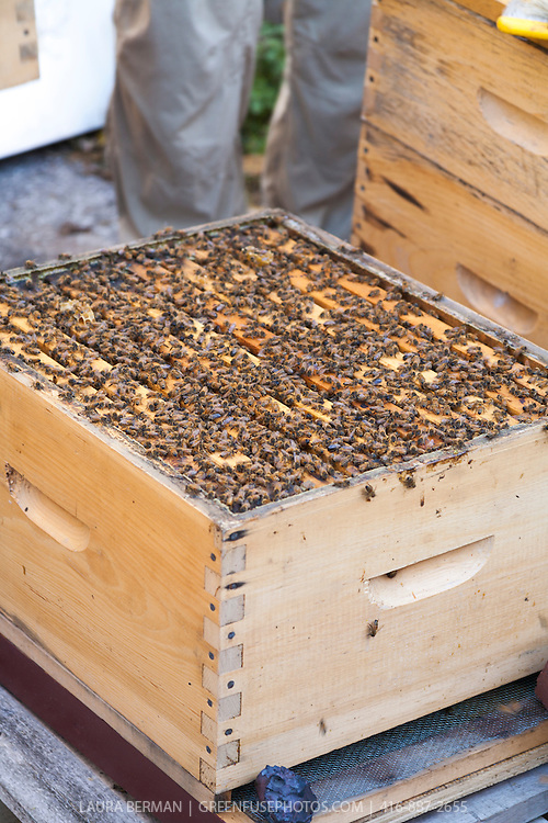 honey bees in a langstroth hive box