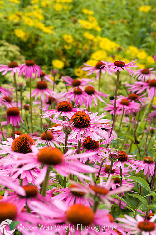 Herbaceous perennials with contrasting hues of purple and yellow are a feature of the Floral Labyrinth at Trentham Gardens, Staffordshire.